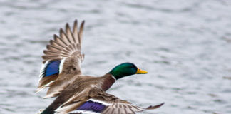 Mallards show largest population increase since 2017