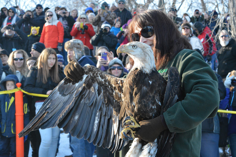 Marge Gibson of Raptor Education Group, Inc. will release up to three rehabilitated bald eagles as part of Bald Eagle Watching Days Jan. 18-19 in Sauk Prairie. - Photo credit: Matt Ahrens