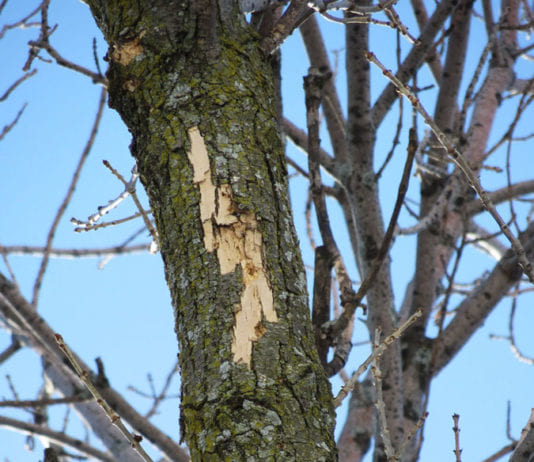 Light flecking on the top of an ash tree can be a sign of EAB infections.Photo credit: Bill McNee