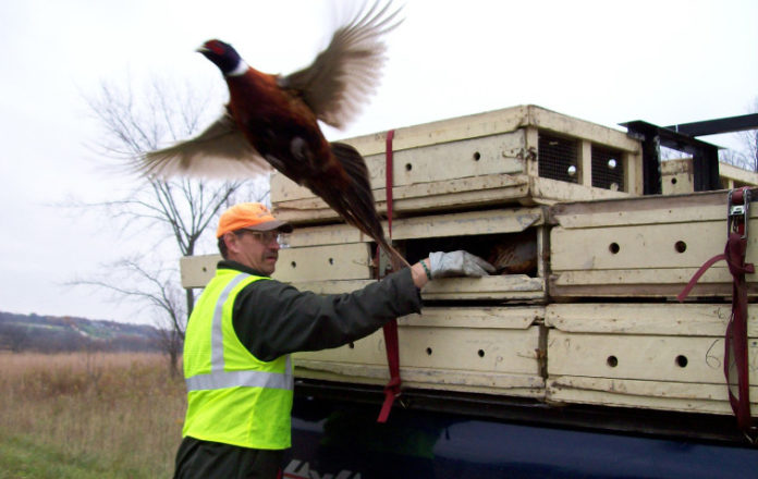 DNR staff will be stocking 2,260 pheasants on eight properties in southern Wisconsin during the week of Dec. 16.Photo credit: DNR