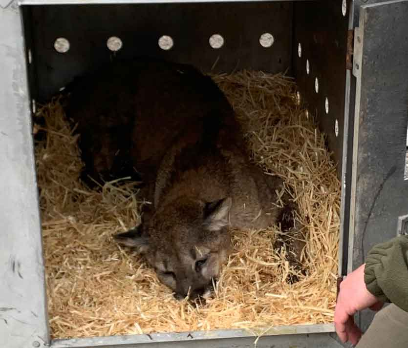 Injured Mountain Lion in Transportation Crate   Photo by Andrew Sorensen Idaho Fish and Game