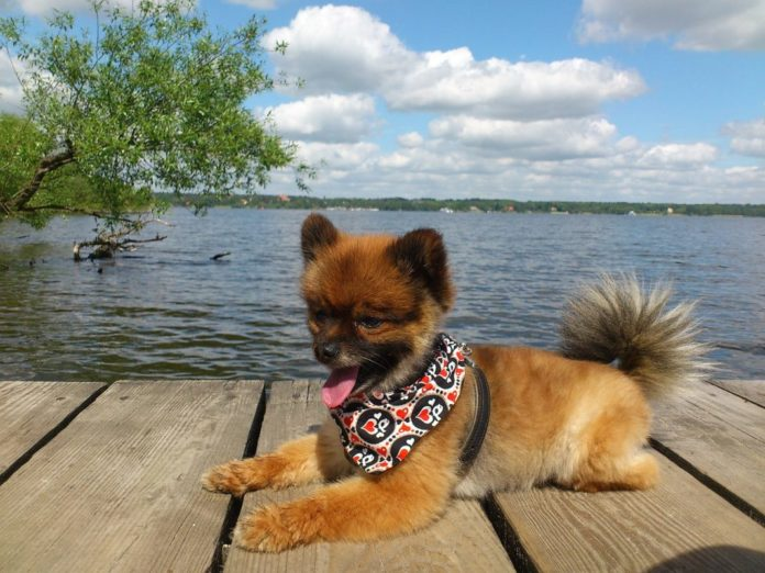 Dwarf Pomeranian, Spitz, going for a walk | Family Life Tips