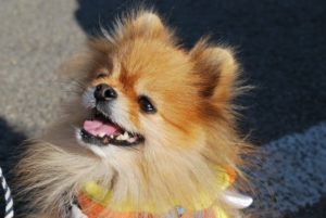 Pomeranian dogs are very loyal to their family.